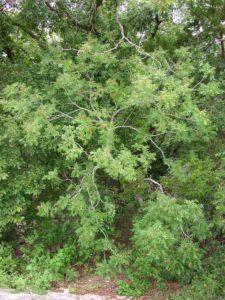 soapnut-tree